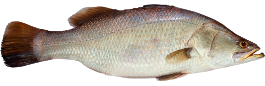 Barramundi description