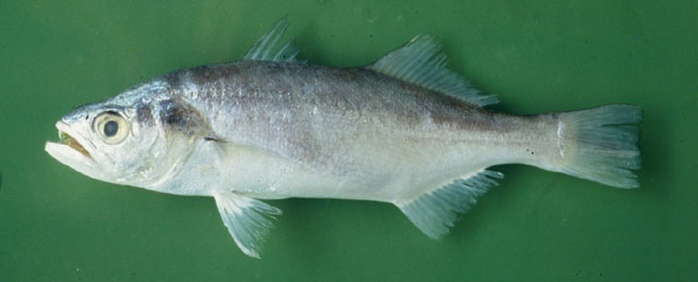 Bigtooth Corvina fish