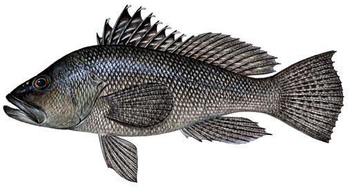 Black sea bass jpg