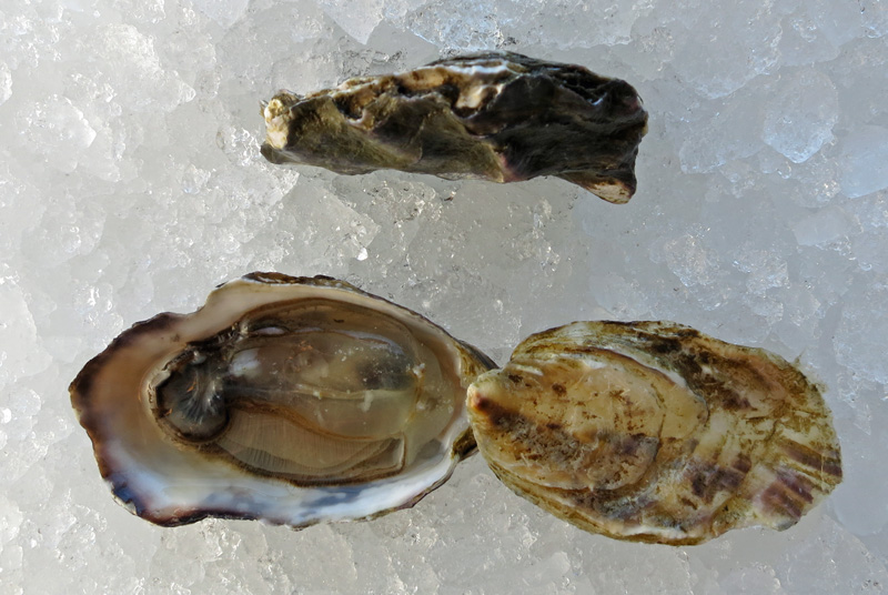 Cranberry Creek Oyster