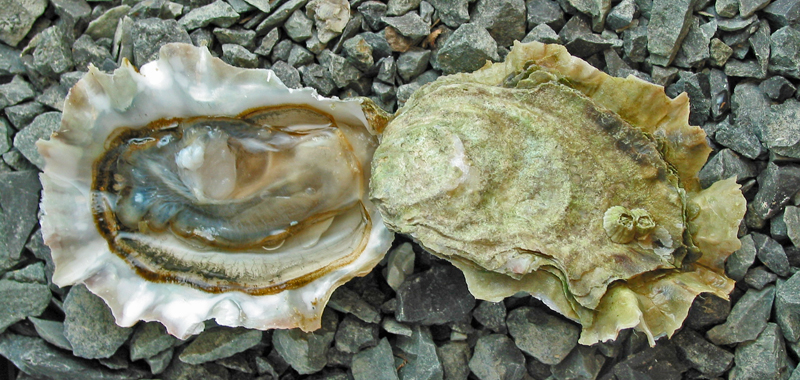 Deep Bay Oysters