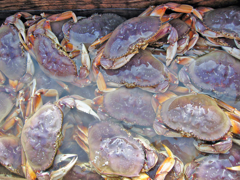 Dungeness Crab_Live jpg