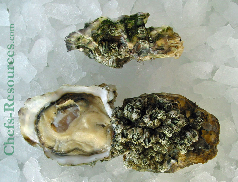 Elkhorn Oysters