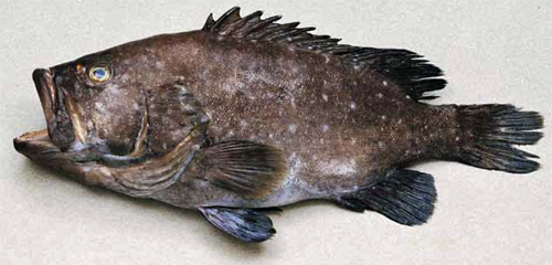 Hapu-Hawiian Sea Bass whole