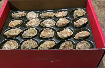 open box of oysters