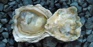 Picture of a shucked Kumamoto Oyster