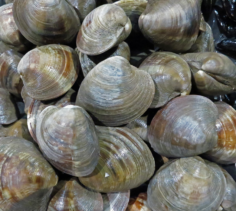 Littleneck Clams jpg