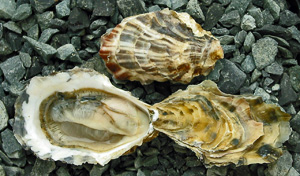 Metcalfe Bay Oysters