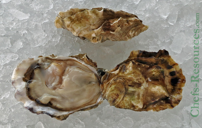 Nisqually Sweet Oyster