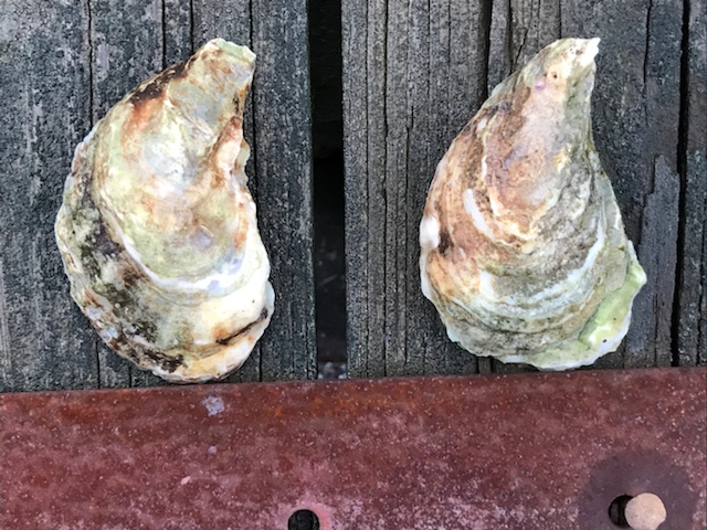 Paramour Oyster from Nova Scotia - by American Mussel Harvesters