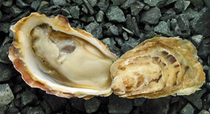Pearl Bay Oysters