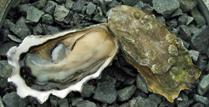 Quilcene Oyster
