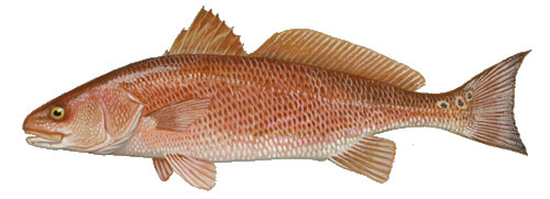Red Drum Fish by Duane Raver