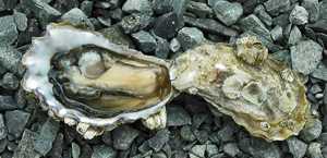 Shoal Bay Oysters