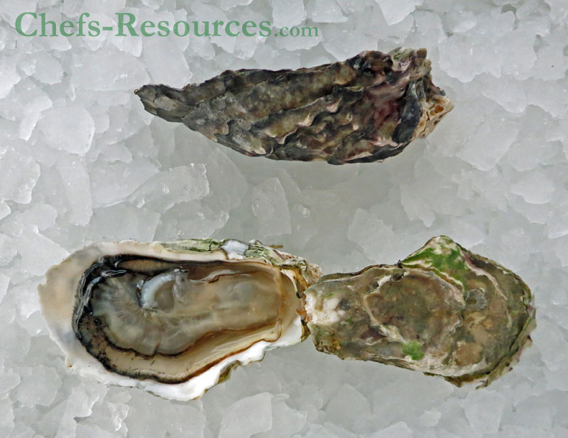 South Bay Pacific Oyster