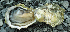 Sun Hollow Oysters
