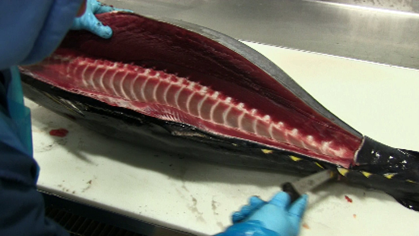 Tuna Filleting