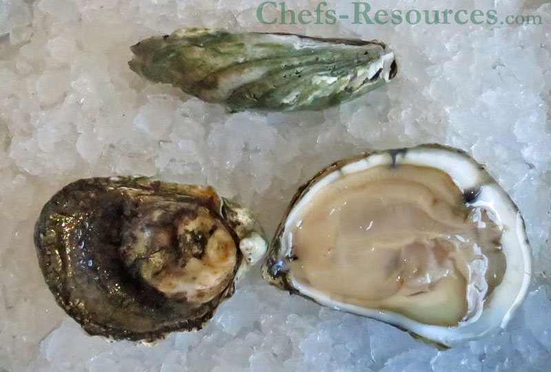 shucked Westport Island Oysters